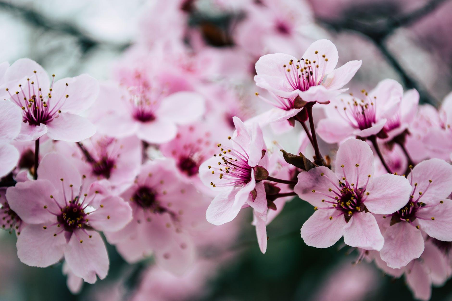 pink petaled flowers closeup photo